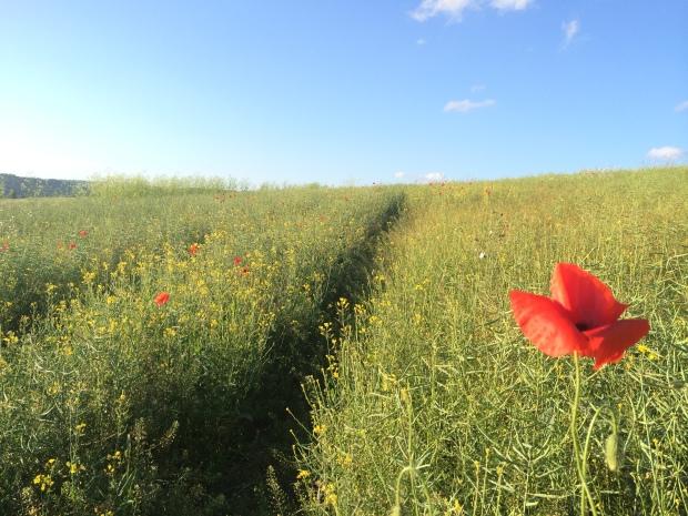 Berkshire Poppy