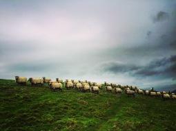 Sheep. Not dinosaurs.